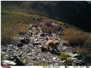 "Pallas' cat caught on camera (Barashkova, A. Pallas' cat (Otocolobus manul). -Small Wild Cats of Eurasia (Web-GIS ""Faunistics""). 2014. URL: http://wildcats.wildlifemonitoring.ru/#object/o_id=18059. Date: 02.01.2017.)"