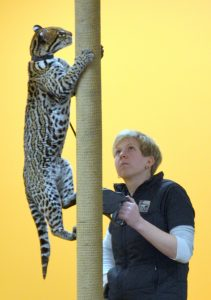 Sihil the ocelot shows off her spots at the Ocelot Conservation Festival (Photo: Shasta Bray)