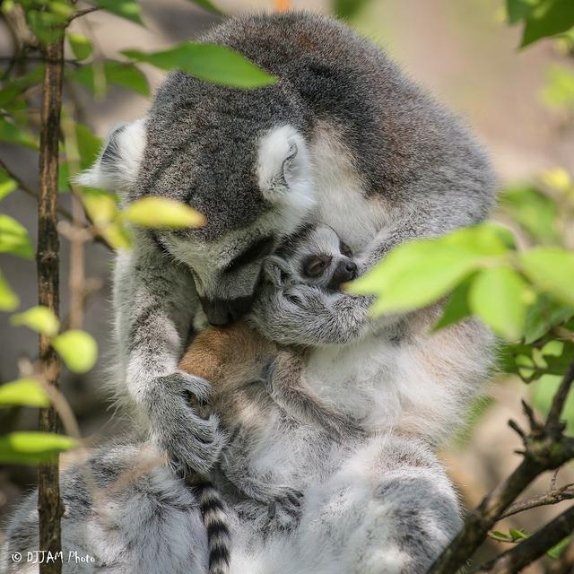 cincinnati zoo celebrates three ring tailed lemur births in three