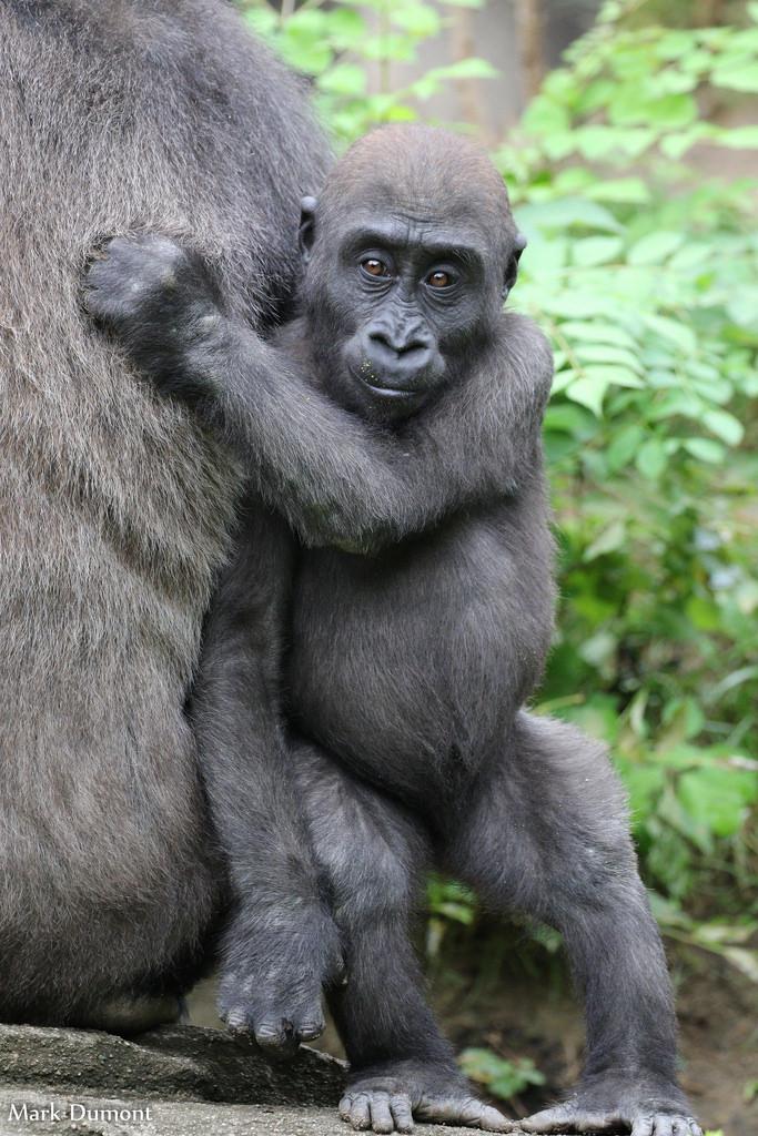 Gorilla World Cincinnati Zoo Amp Botanical Garden