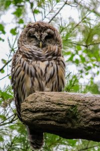 Barred owl (Photo: Cassandre Crawford)