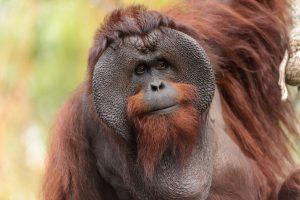 Male Bornean Orangutan (Photo: Eric Kilby)