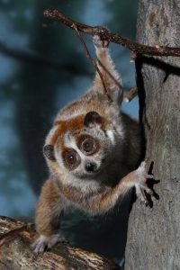 Pygmy slow loris (Photo: Mark Dumont)