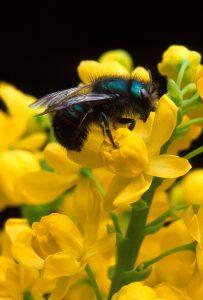 Mason bee (Photo: Jack Dykinga/USDA)