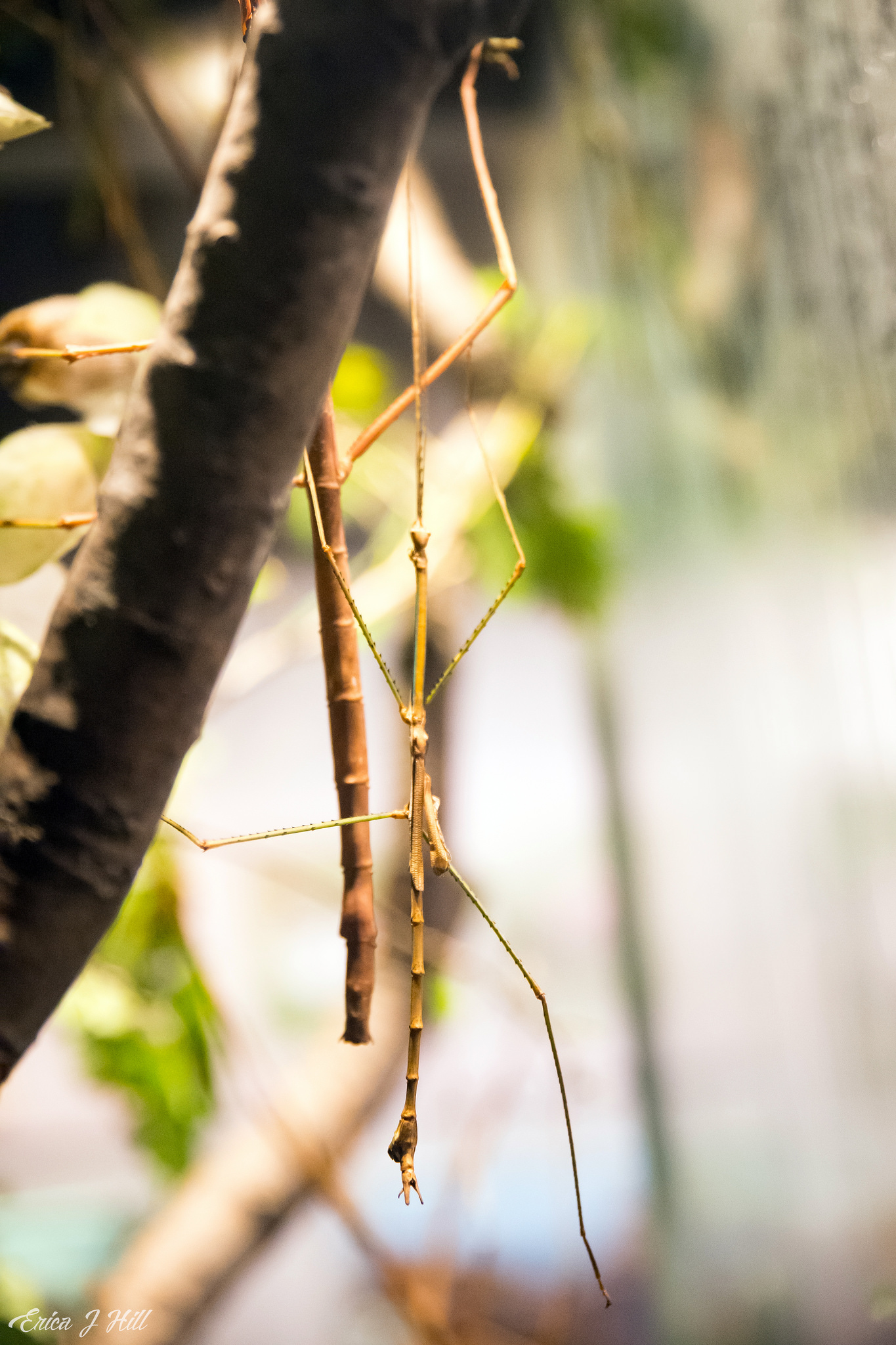 Stick Insect hanging from branch