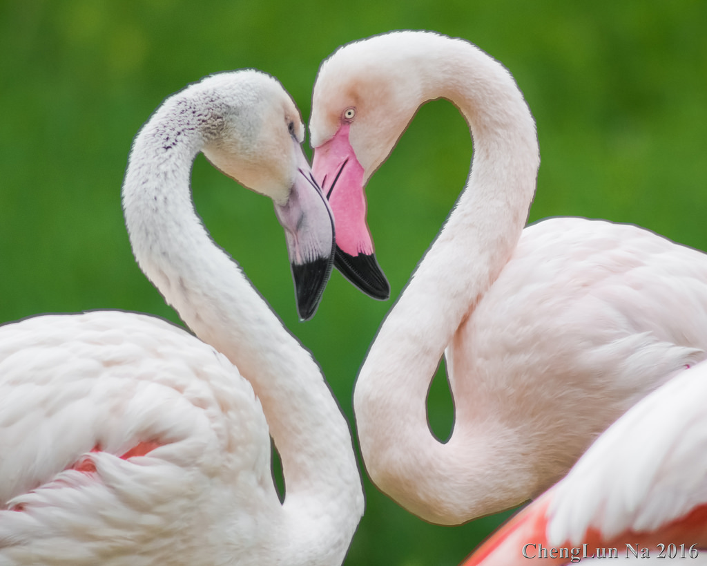 two flamingos side view