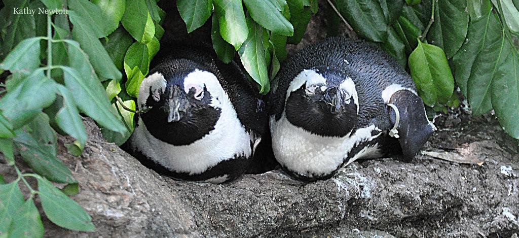 Two African Penguins sleeping