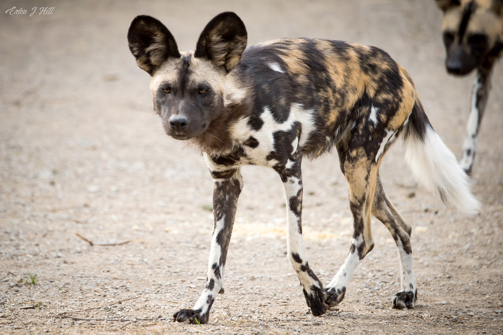 African Painted Dog walking