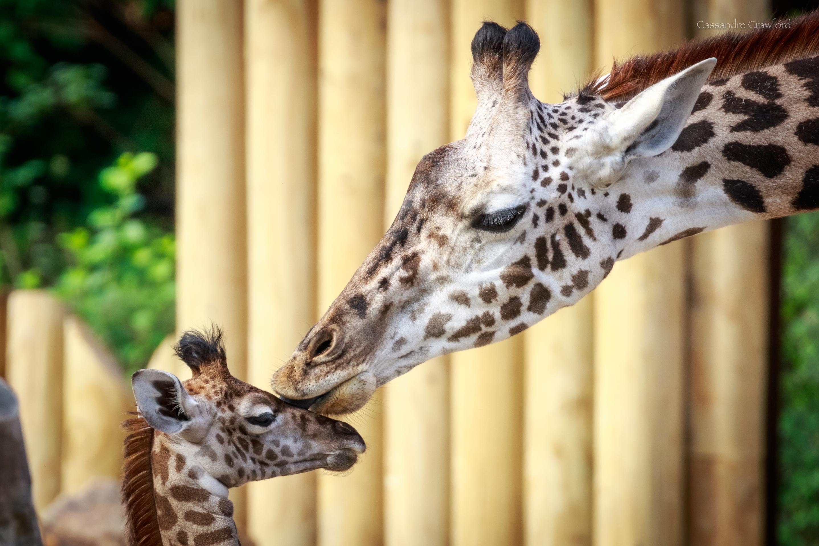 Mother Giraffe licking daughter