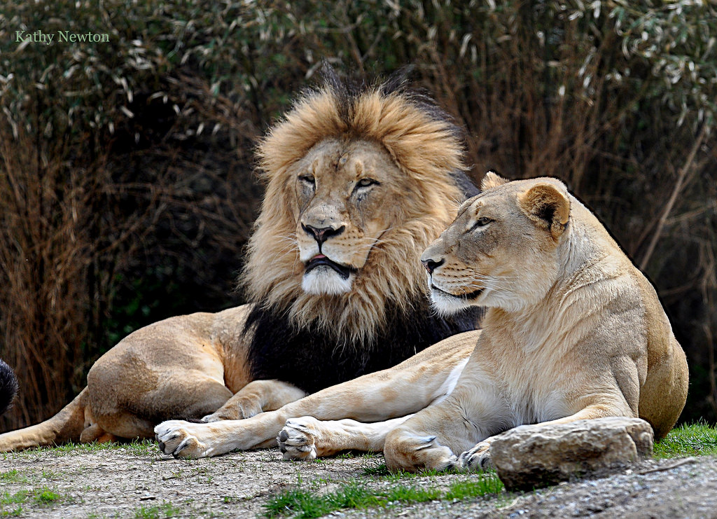 Lion and Lioness laying down
