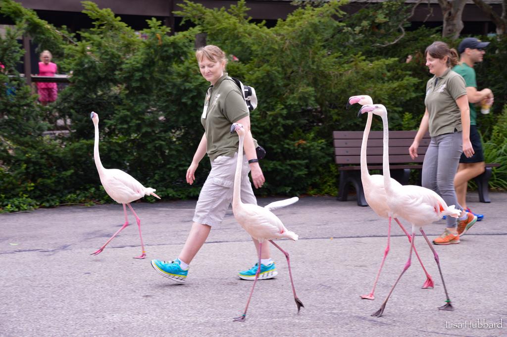 Keepers walking Flamingos through zoo