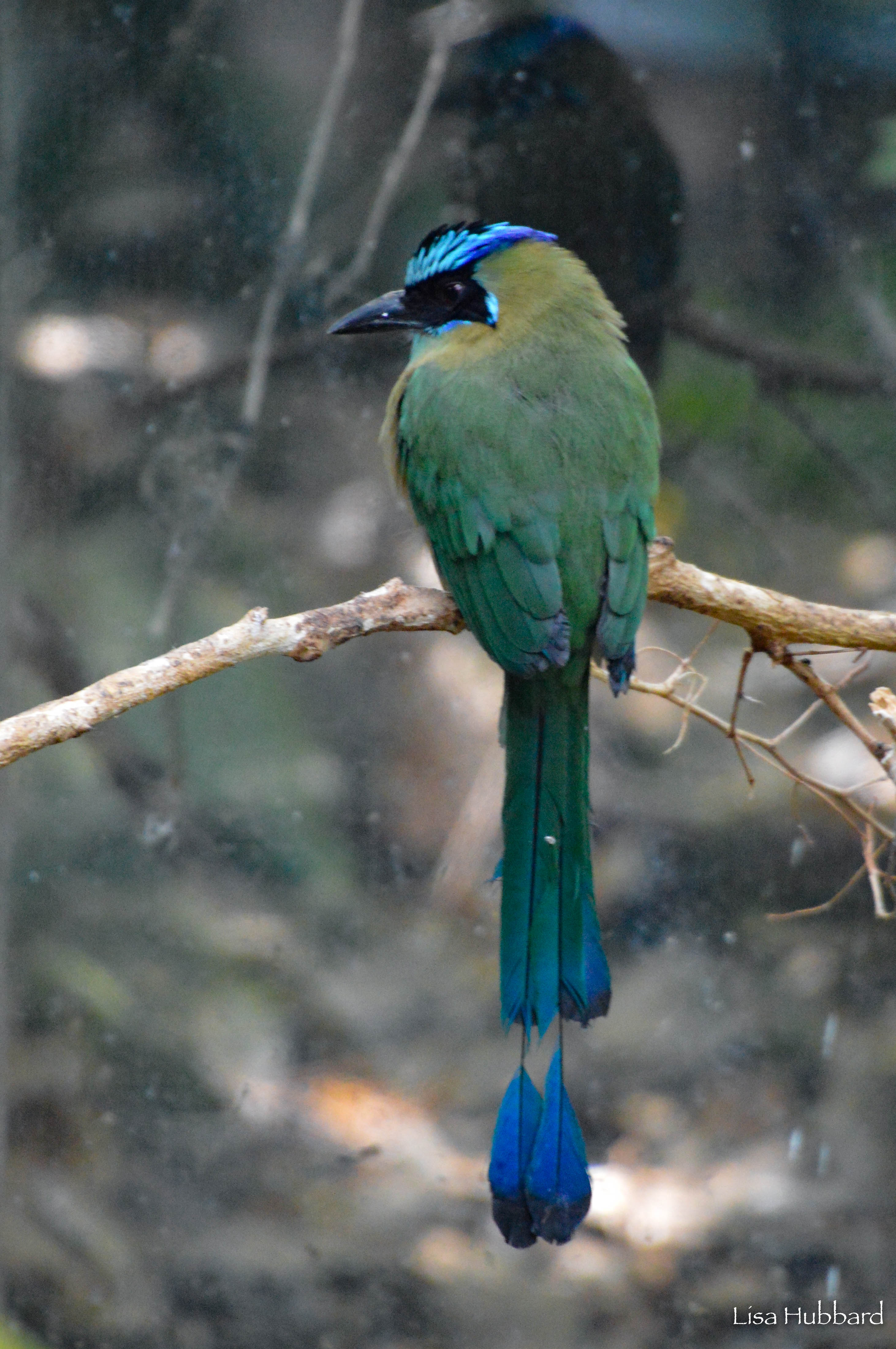 Blue Crowned Motmot perched on a branch