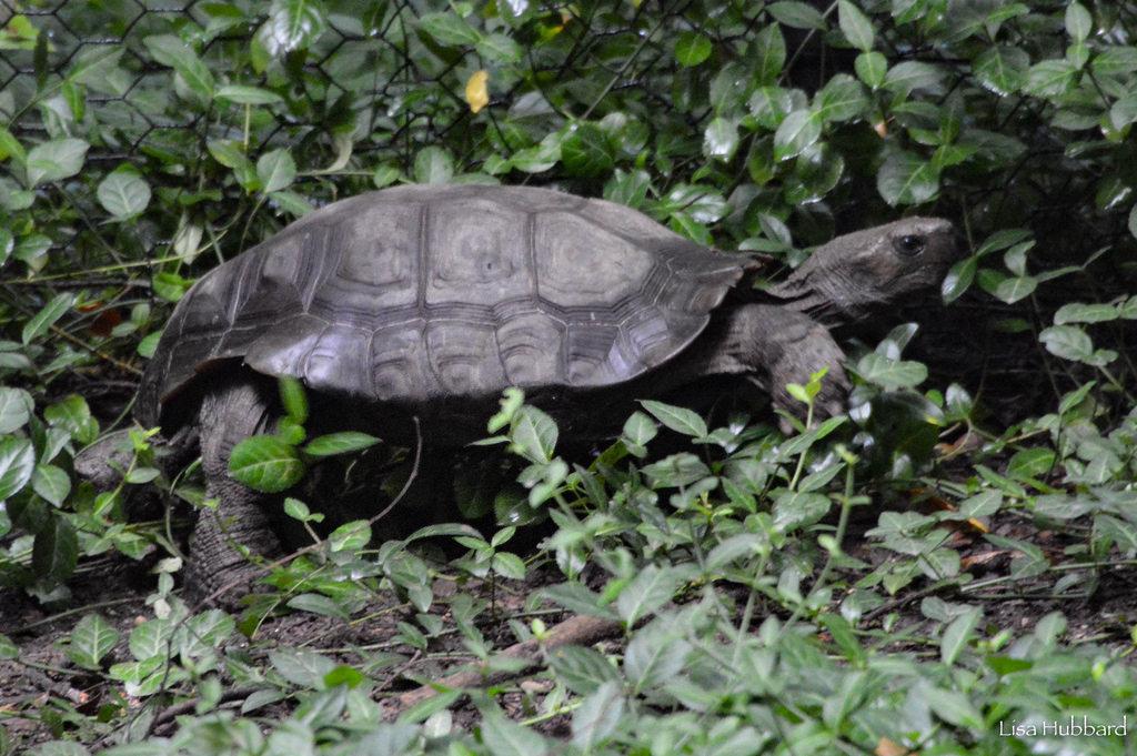 mountain tortoise