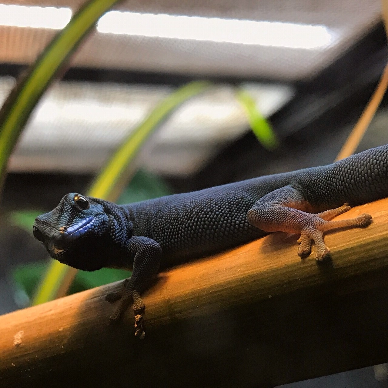 Electric Blue Day Gecko