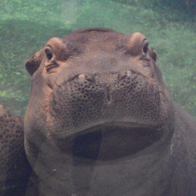 fiona hippo