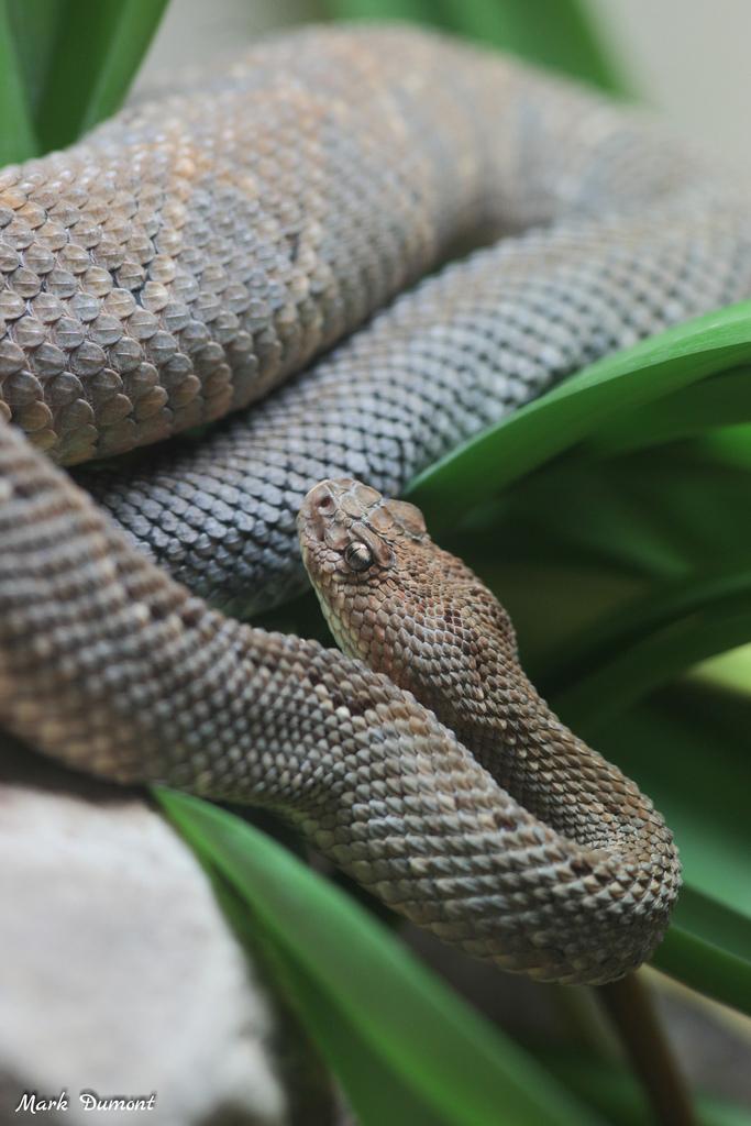 aruba island rattle snake