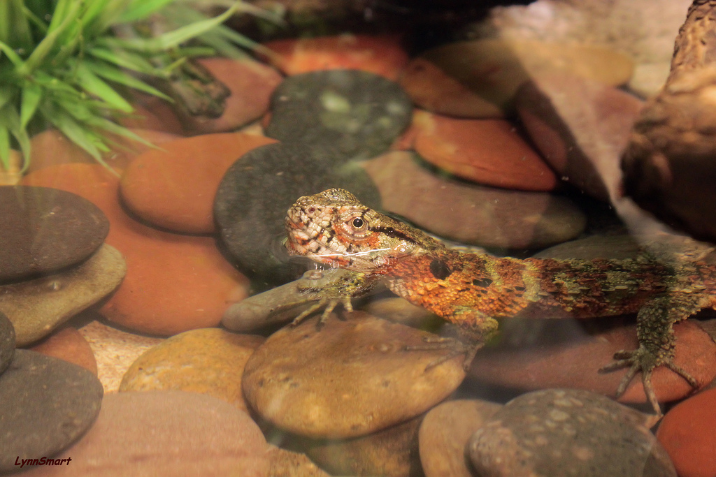 Chinese crocodile lizards