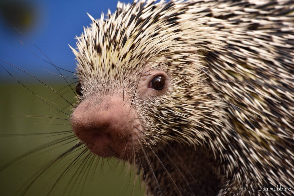 Image result for rico the porcupine