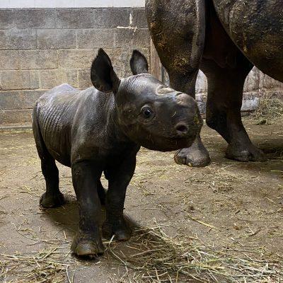 baby rhino at the cincinnati zoo