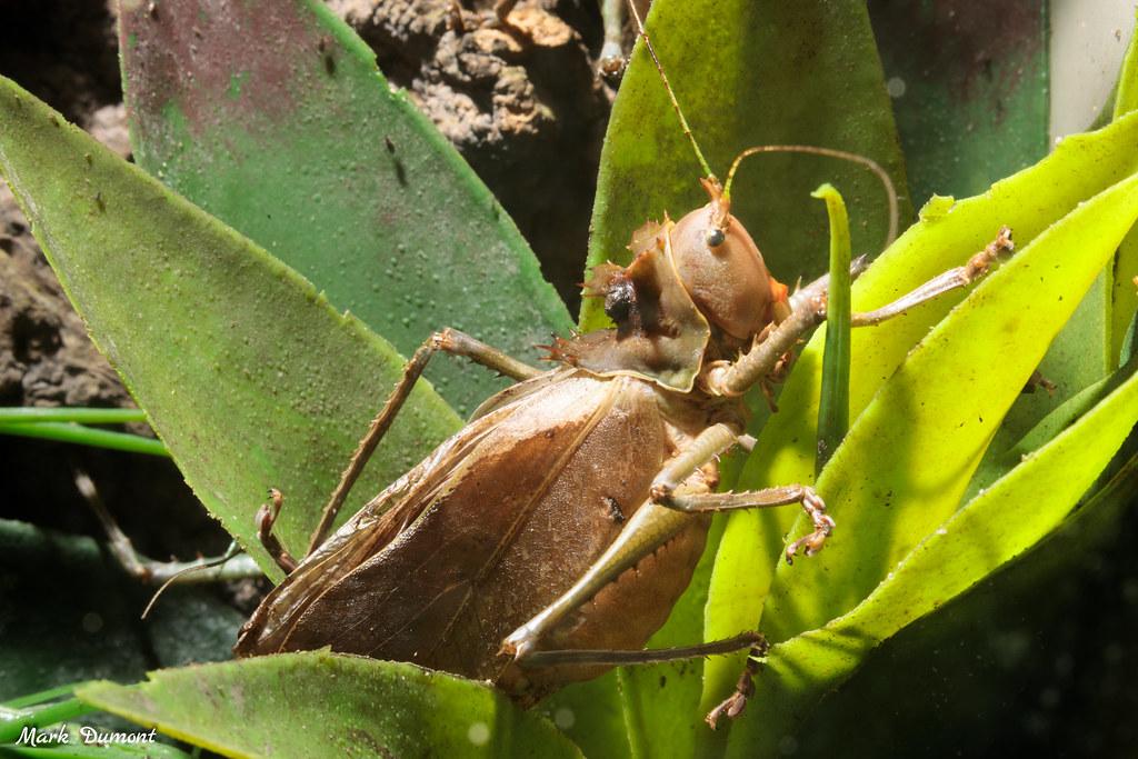 dragon headed katydid