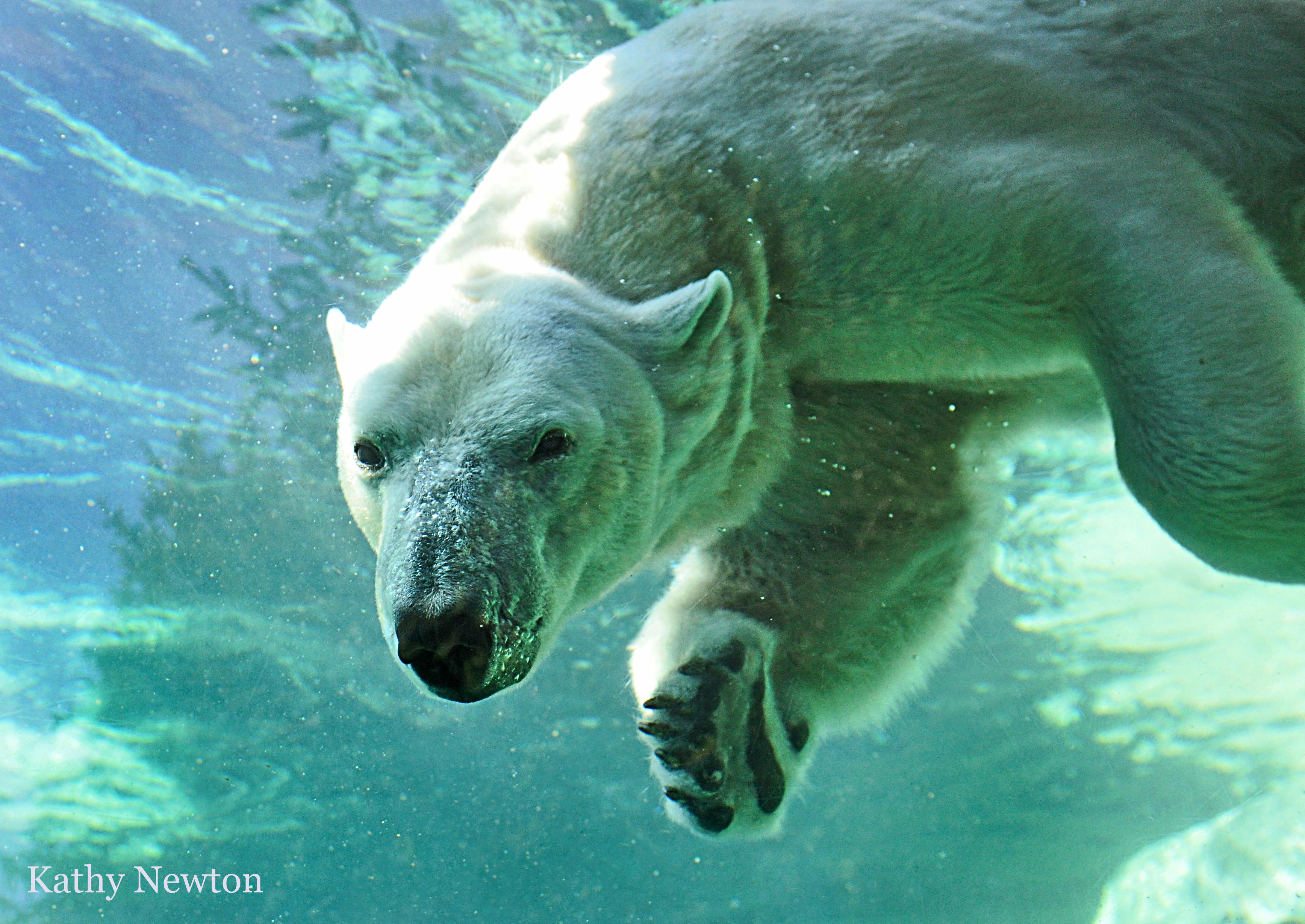 Polar bear swimming front view